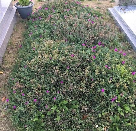 fleurs herbes cimetières